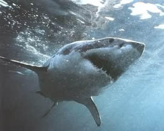 во время ночного купания напала тупорылая акула.  Берегите себя.